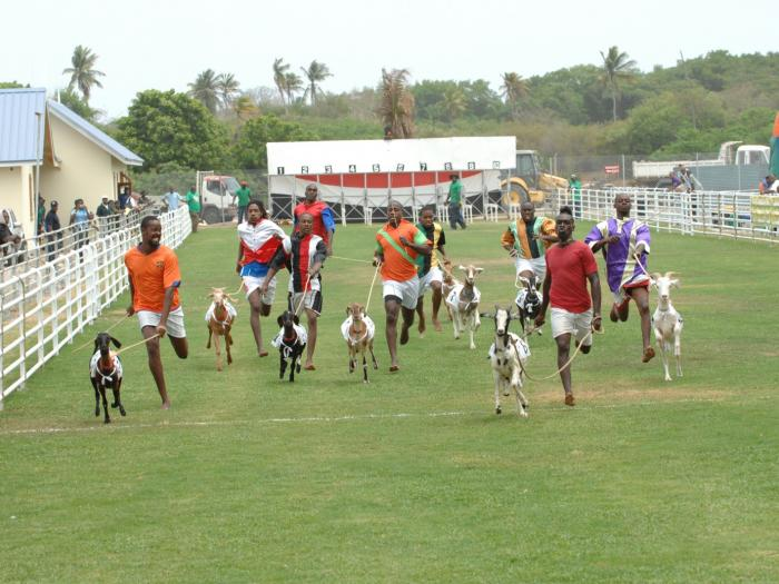Tobago Goat Race