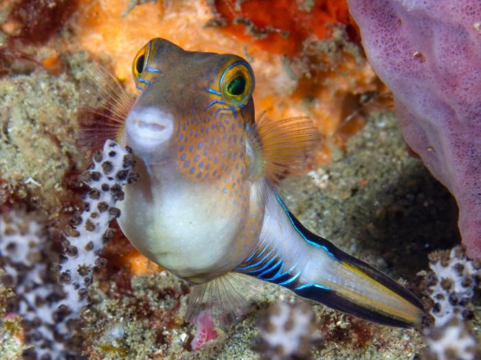 Dive-Sharpnose pufferfish