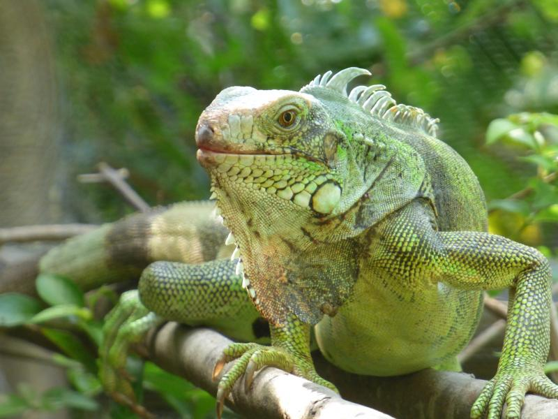 Iguana-Corbin Local Wildlife